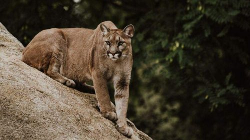 Cougar Information & Encounter Tips